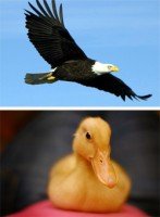Орел или утка